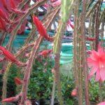 Aporocactus-Maeva